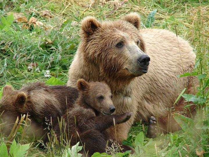 opazovanje-medveda2