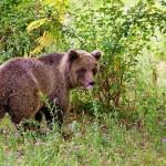 opazovanje-medveda3