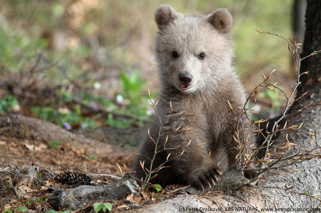Medvedji mladič