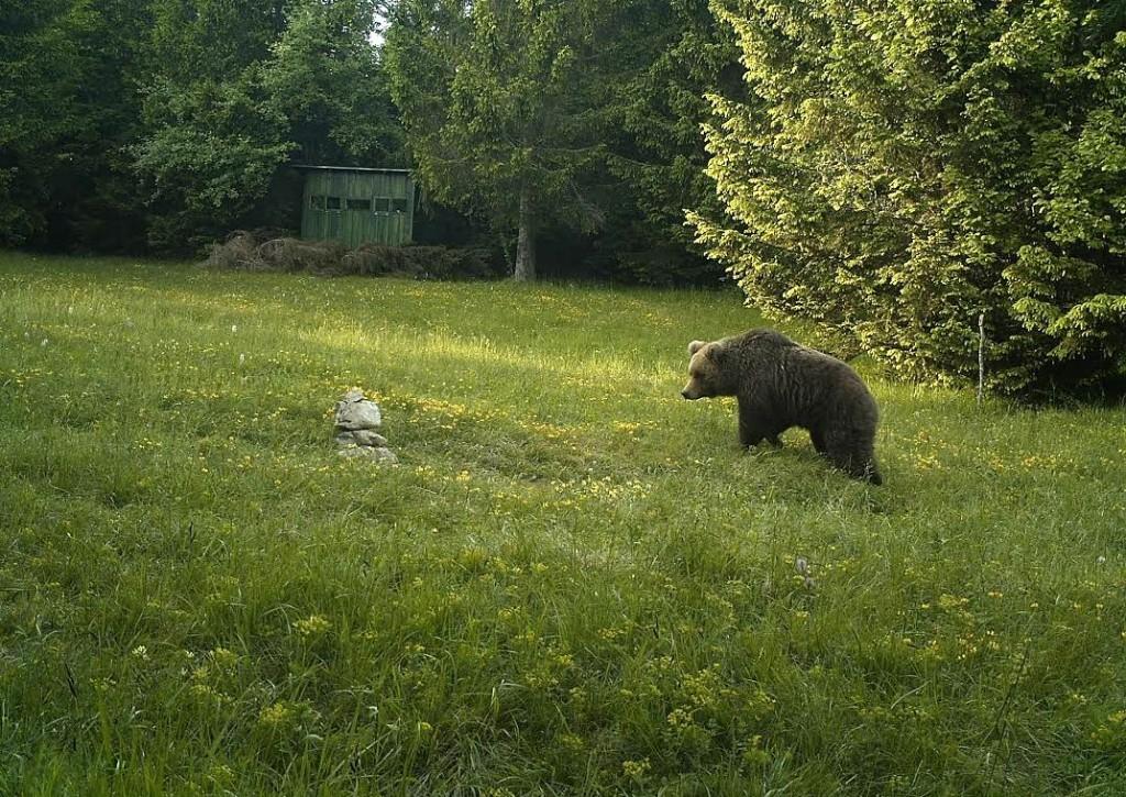 Medved Charlie