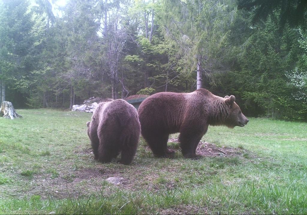2-odrasla-medveda